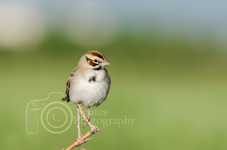 Bird photography Lark Sparrow RMA commerce city, colorado