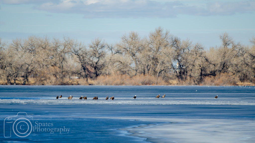 Bald eagles on frozen lake, Barr Lake, Colorado